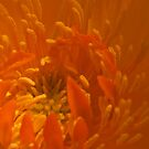 Orange Trollius Stamen Macro by Sandra Foster
