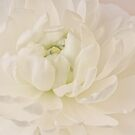 Top View - White Ranunculus by Sandra Foster