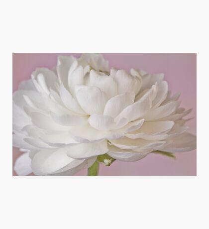 White Ranunculus Macro  Photographic Print