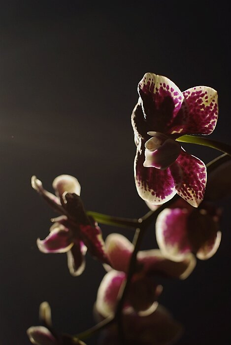 orchidlight by narabia