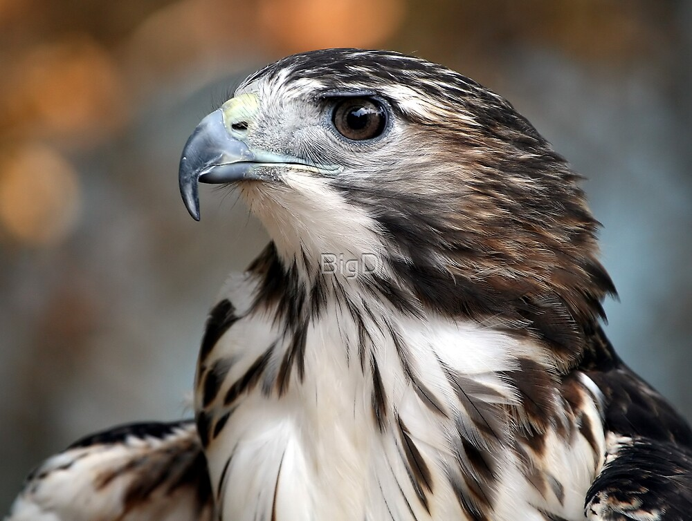 Red-Tailed Hawk by BigD
