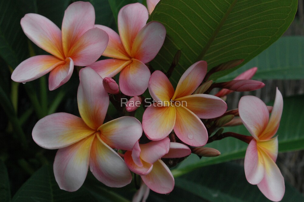 pink frangipanis by Rae Stanton
