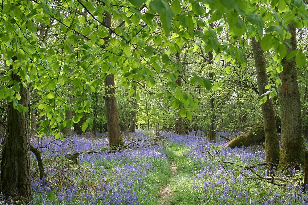 bluebell woods by odile