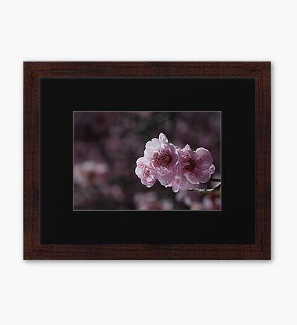 Beautiful Spring Prunus Blossom  Framed Print