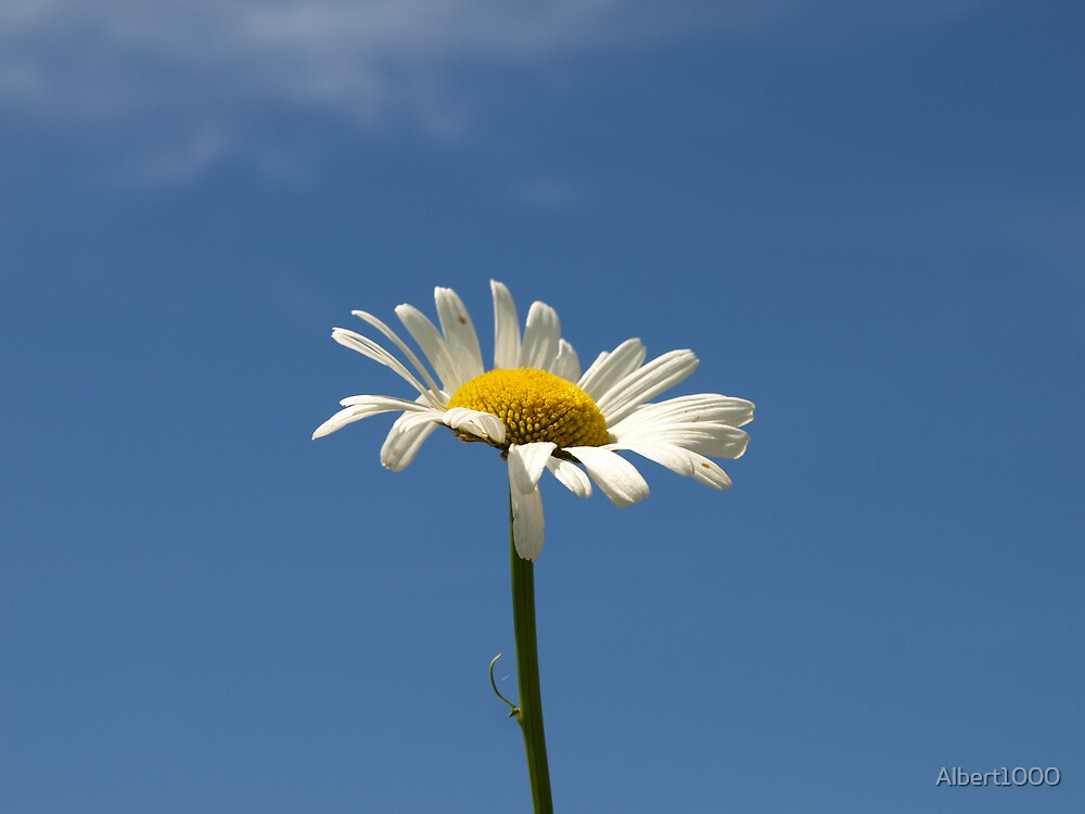 NC A daisy just for you by Albert1000