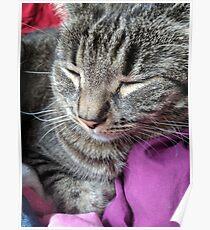 Adorable brown sleeping Kitty Poster