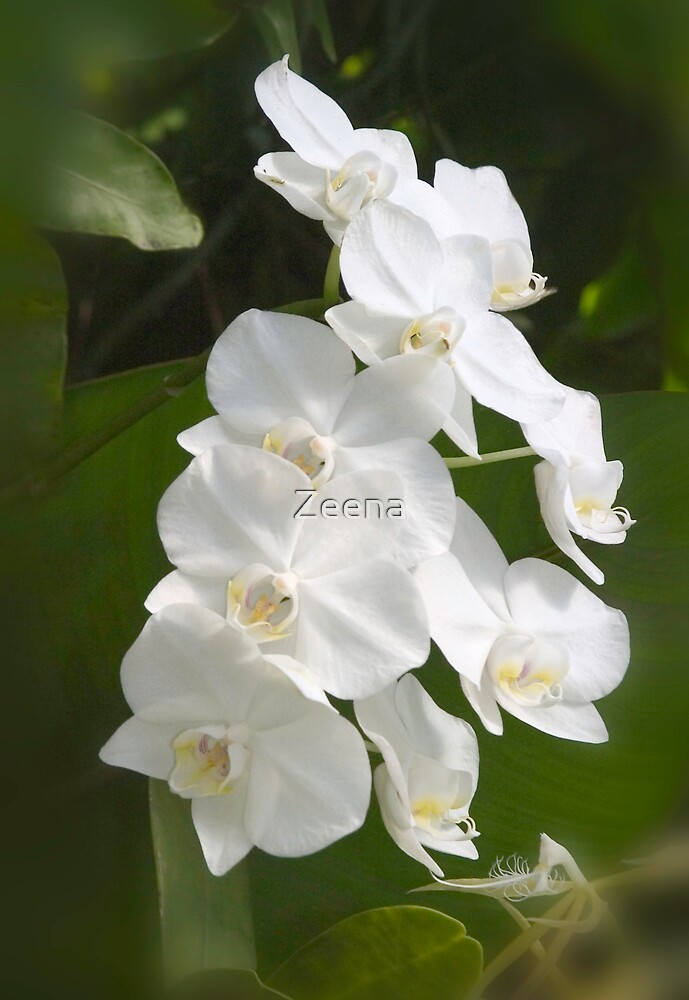 White Orchids by Zeena