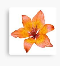 Coral Colored Lily Flower Isolated  Canvas Print