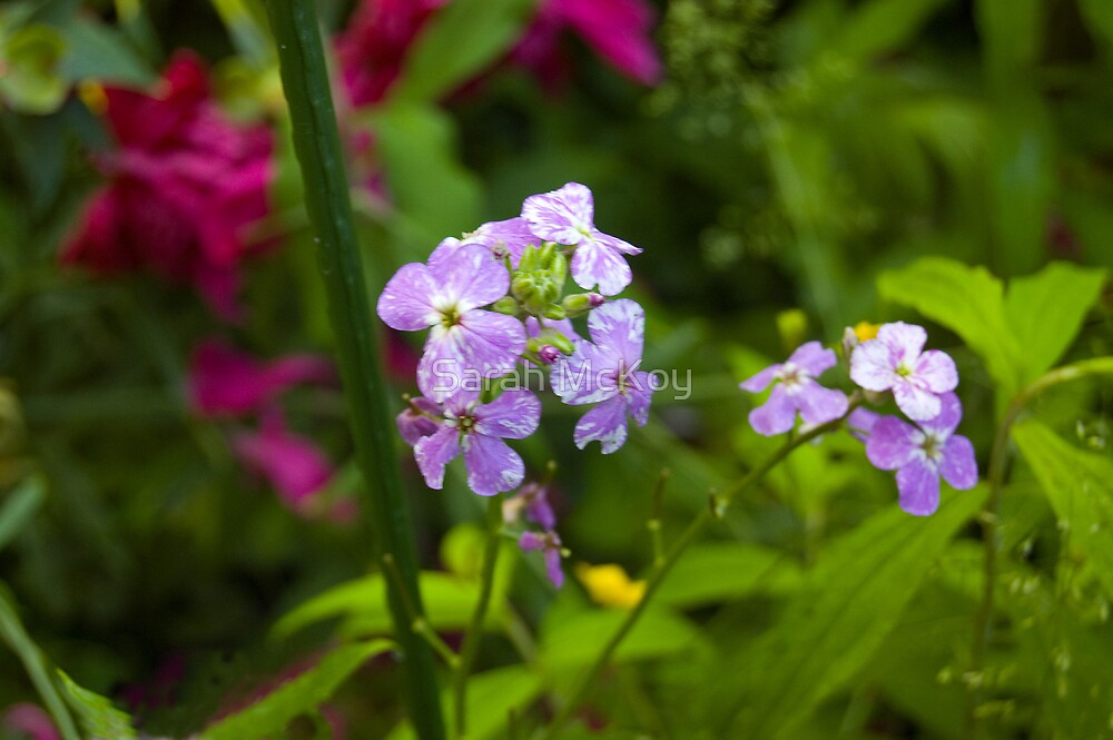 Purple Phlox by Sarah McKoy