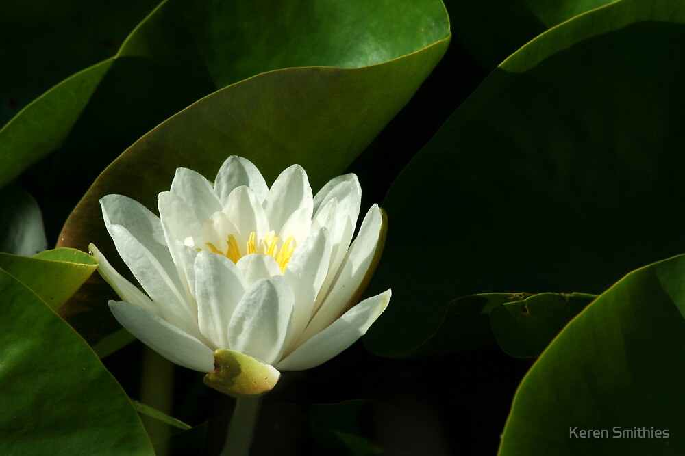 water lily by Keren Smithies