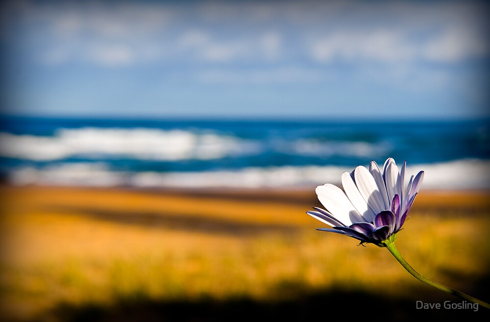 Lone daisy by Dave  Gosling Photography