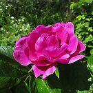 Rosa rugosa - japanese / hedgehog rose by Wildplant-guide