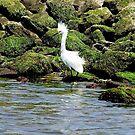 Snowy Egret by Nancy Richard