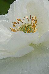 White Poppy by cml16744