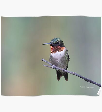 Ruby Throat Poster