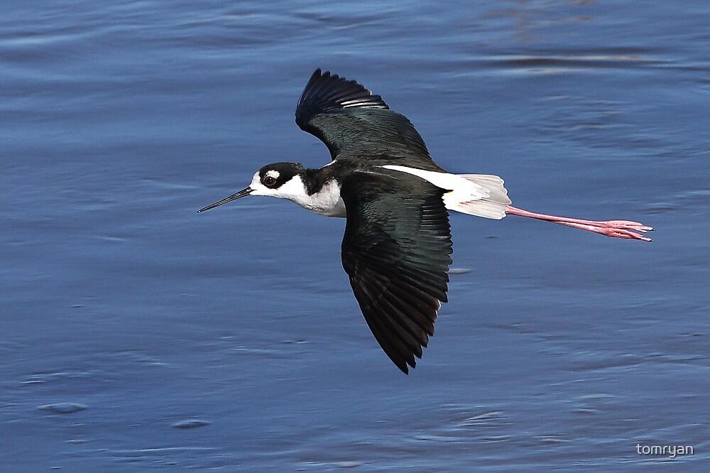 Black-necked Stilt In Flight by tomryan