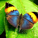 Indian Leafwing on a Wet Leaf by Barnbk02