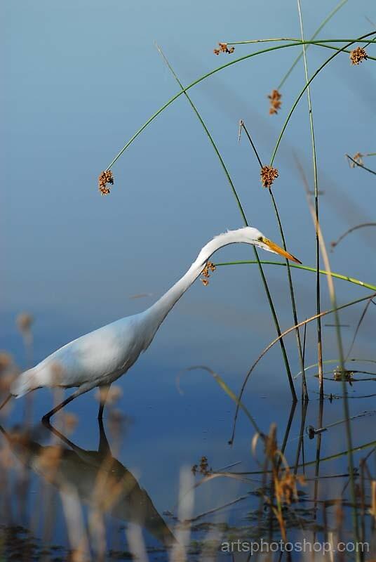 Egretta 2 by artsphotoshop