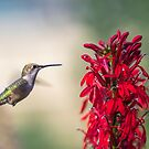 Ruby Throated Hummingbird 2017-2 by Thomas Young
