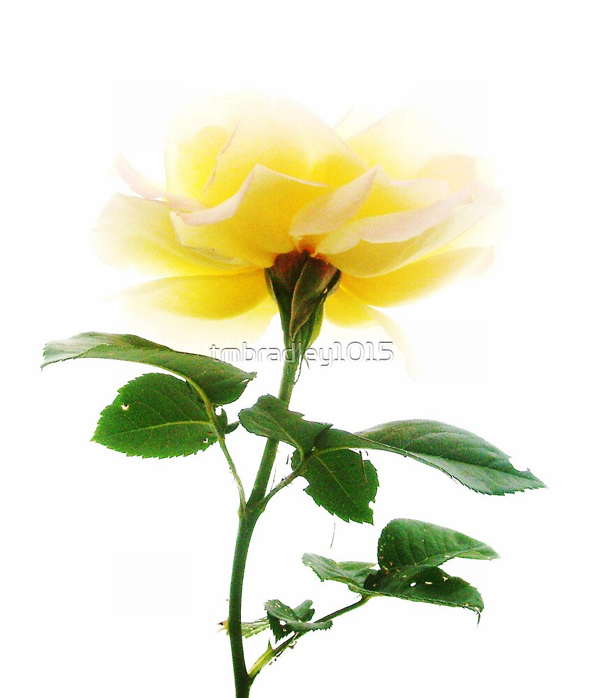 Sunshine Rose by tmbradley1015