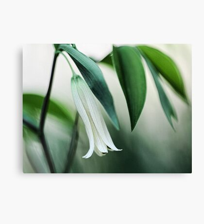 Wild Oats (Sessile Bellwort) Canvas Print
