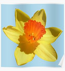 Daffodil Emblem Isolated Poster