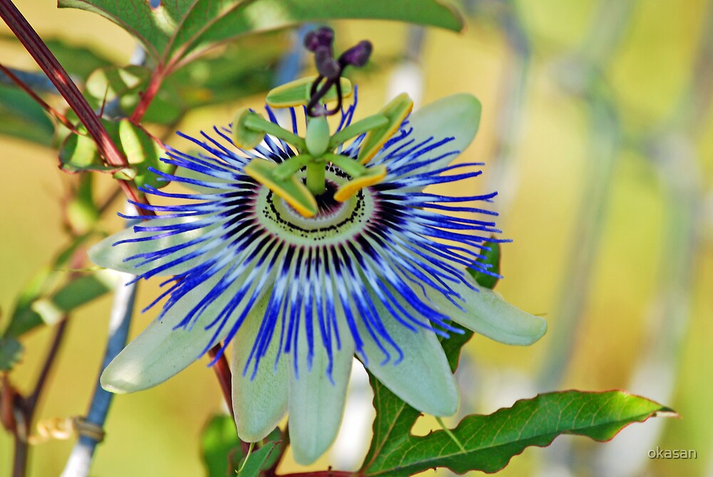 passion flower by okasan