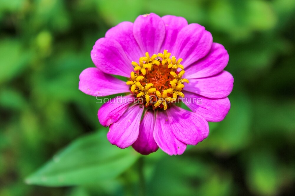 Pink Zinnia by Southern  Departure
