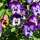 Purple pansies  by Southern  Departure