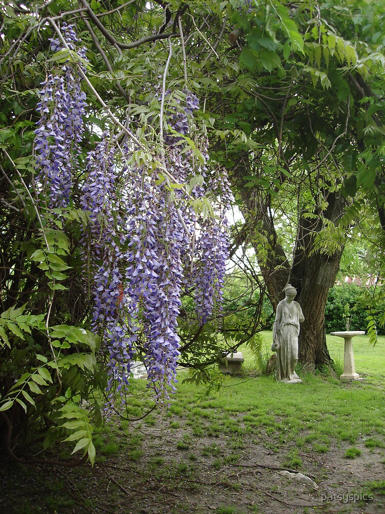 Weeping Wysteria by patsyspics