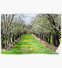 Orchard of plum trees Poster