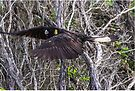 Black Cockatoo Flying by KazM