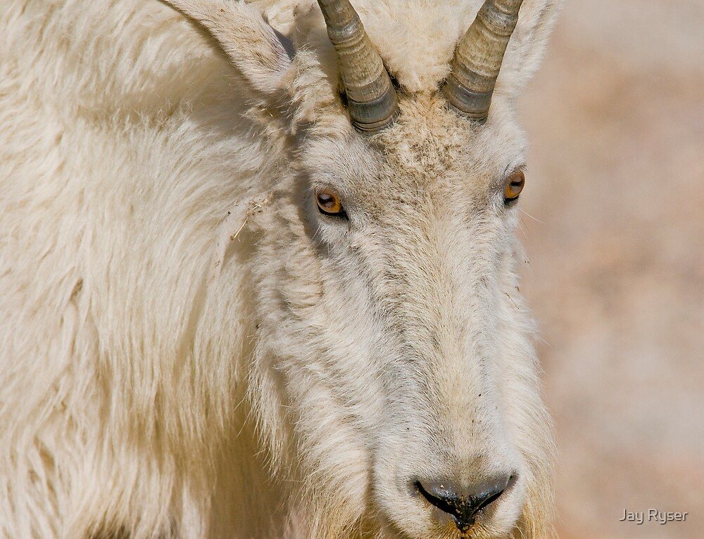 Mountain Goat Close-Up by Jay Ryser