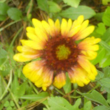 Gerber Daisy by tommyjo