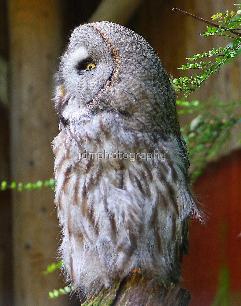 Great Grey Owl by jdmphotography