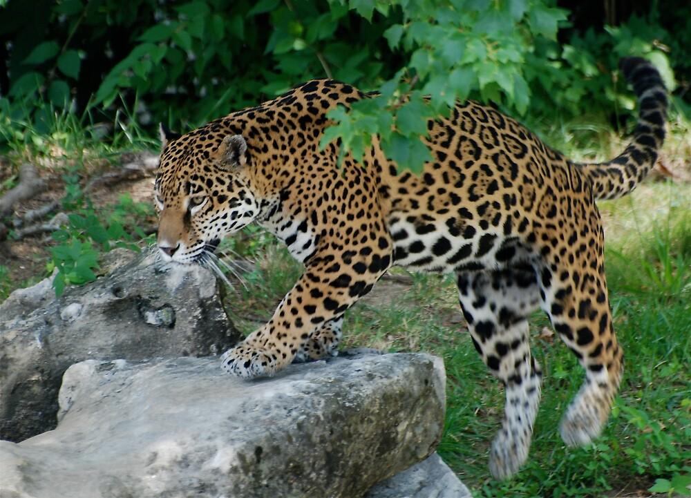Stalking Jaguar by Jim Caldwell