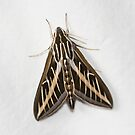 Lined Sphinx Moth by Alice Kahn