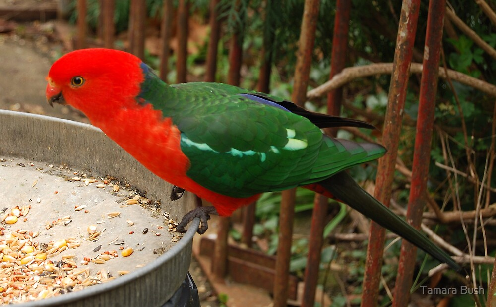 king parrot by Tamara Bush