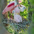 Roseate Spoonbill and Chicks at Evangeline Parish Louisiana Rookery by Bonnie T.  Barry