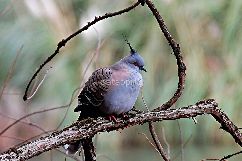 .Lonely Pigeon by patapping
