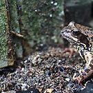 inconspicuous motley spotted frog in the wild by mrivserg