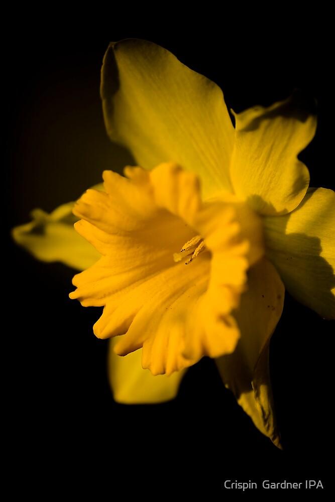 Daffodil 4 by Crispin  Gardner IPA