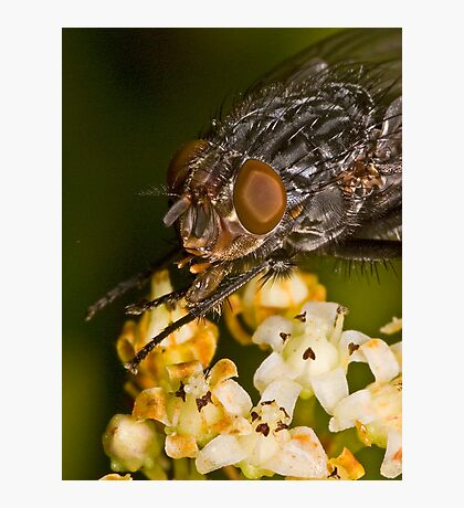 Fly eating nectar Photographic Print
