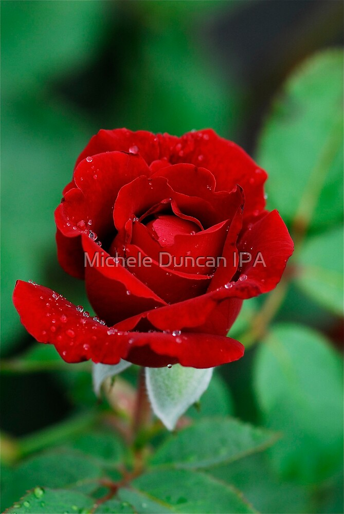Sea of Red and Green by Michele Duncan IPA