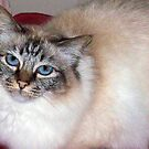 Cleo a Tabby Birman Champion show cat  by coolart
