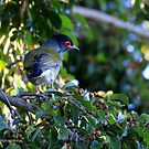 Australasian Figbird (male) - 5977 by Emmy Silvius