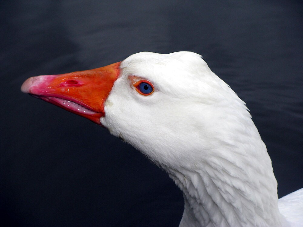 goose by Caroline Anderson