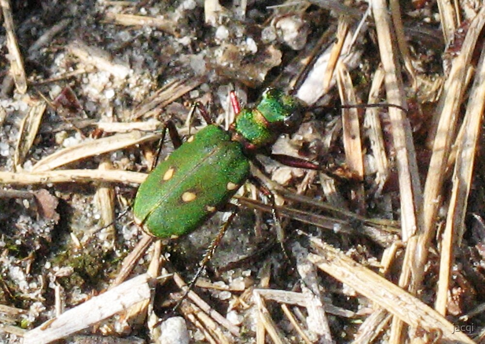 Green Tiger Beetle by jacqi