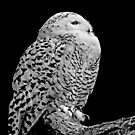 Snowy Owl by ScenicViewPics