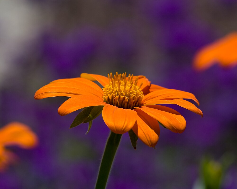 Orange on Purple by Krys Squires